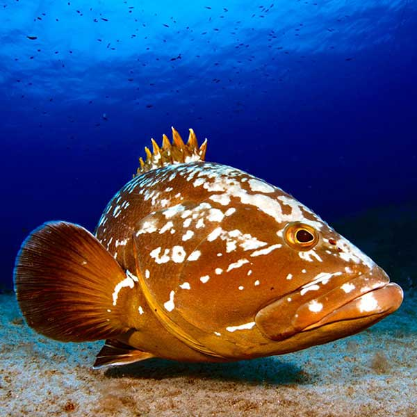 Grouper | Open Water Lanzarote | Scuba Diving