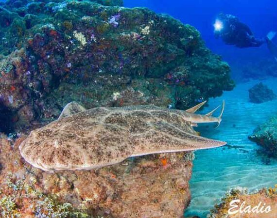 Angel shark seen while scuba diving in Lanzarote with Manta Diving Lanzarote at Playa Chica