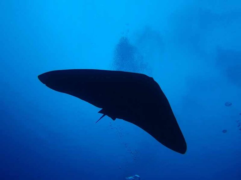 Butterfly Ray seen in Lanzarote Diving with Manta Dive Centre Lanzarote