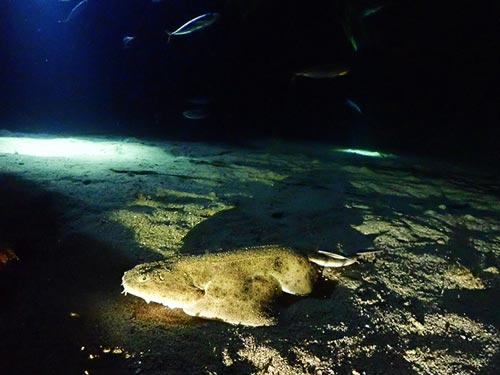 Dive Lanzarote | Angel Shark spotted on a Night Dive in Lanzarote