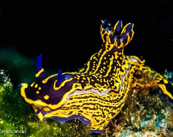 Nudibranch | Babosa de Mar | What can you see while you dive in Lanzarote