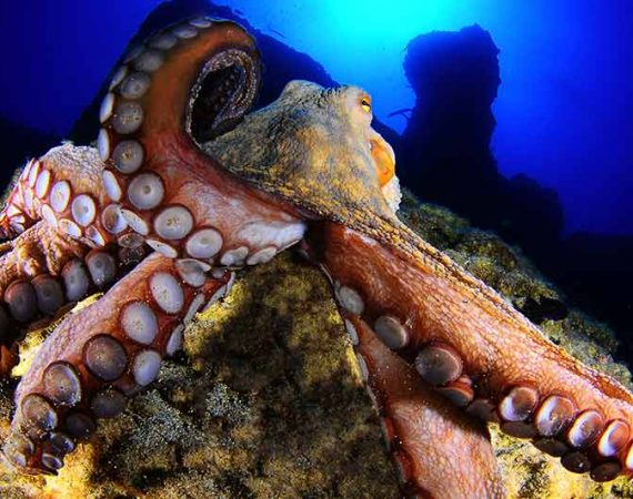 Octopus | Diving in Puerto Del Carmen with Manta Diving Lanzarote
