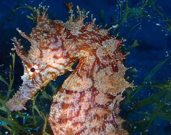Marine Life in Lanzarote: Seahorse | Caballito de Mar | Marine Life in Lanzarote | Manta Diving Lanzarote